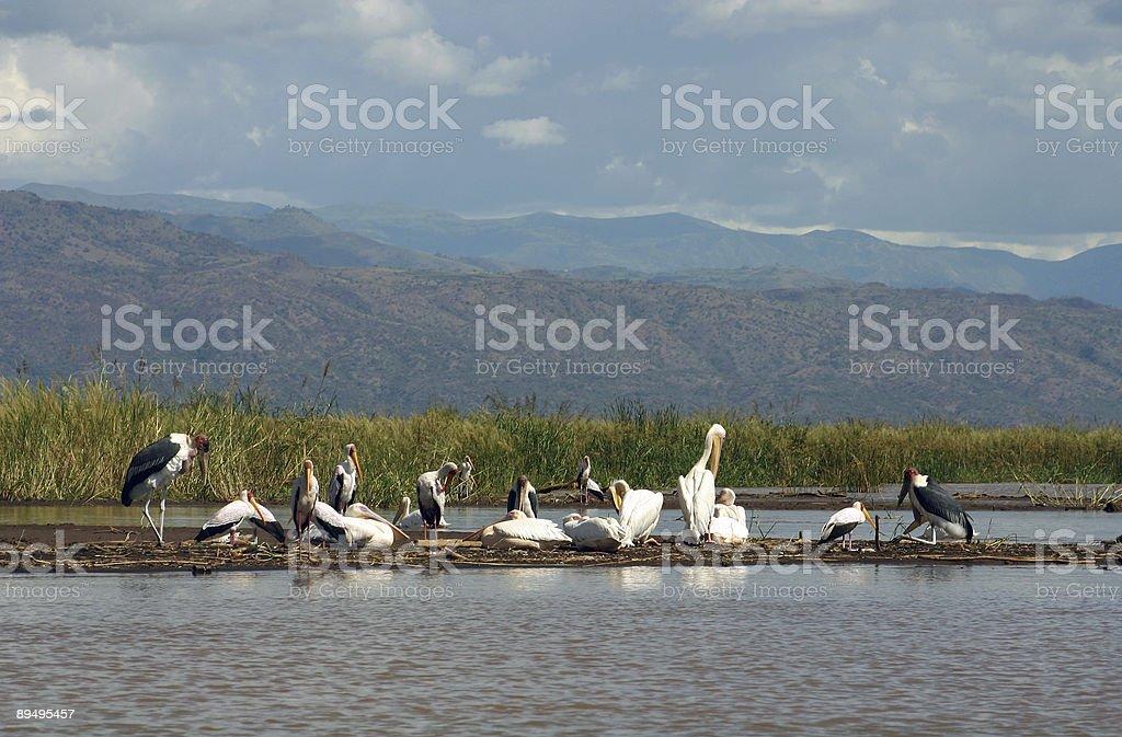 Birds at Lake Chamo stock photo