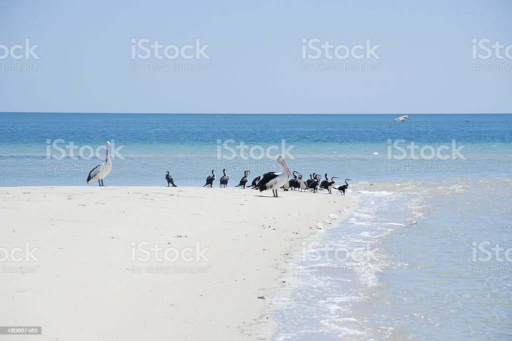 Birds at Monkey Mia in Western Australia stock photo