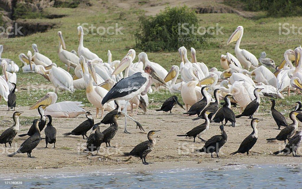 birds at the Queen Elizabeth National Park in Uganda royalty-free stock photo