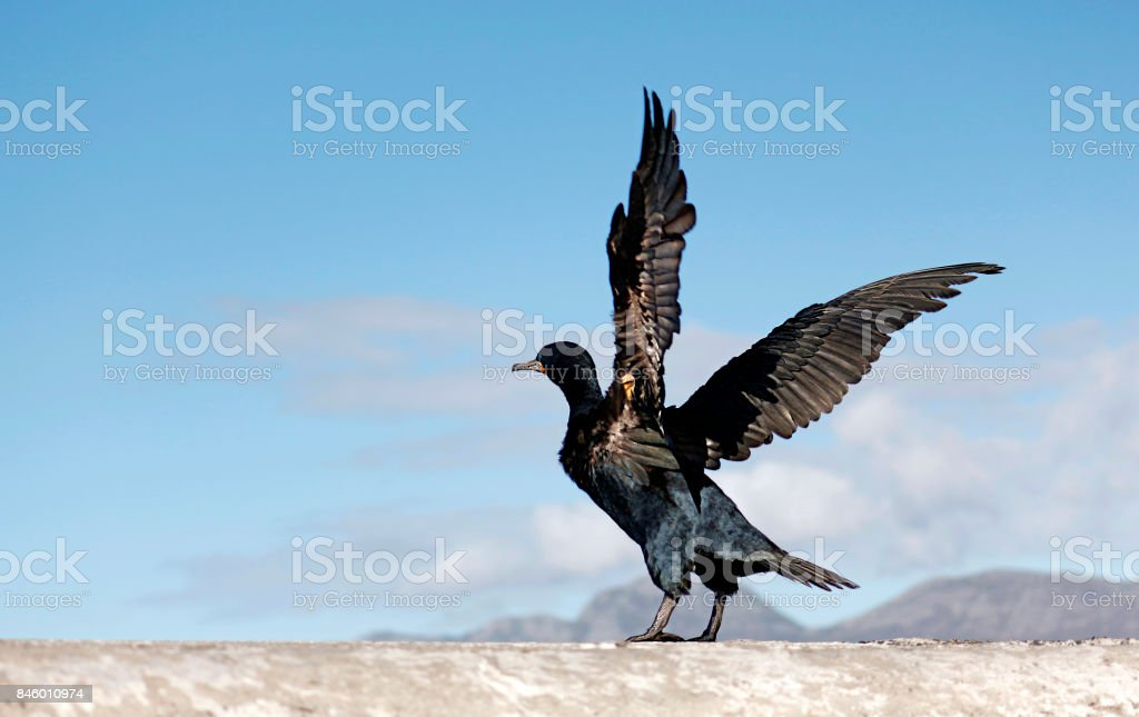 Birds Cape cormorant avian flying wings animal wildlife nature harbor