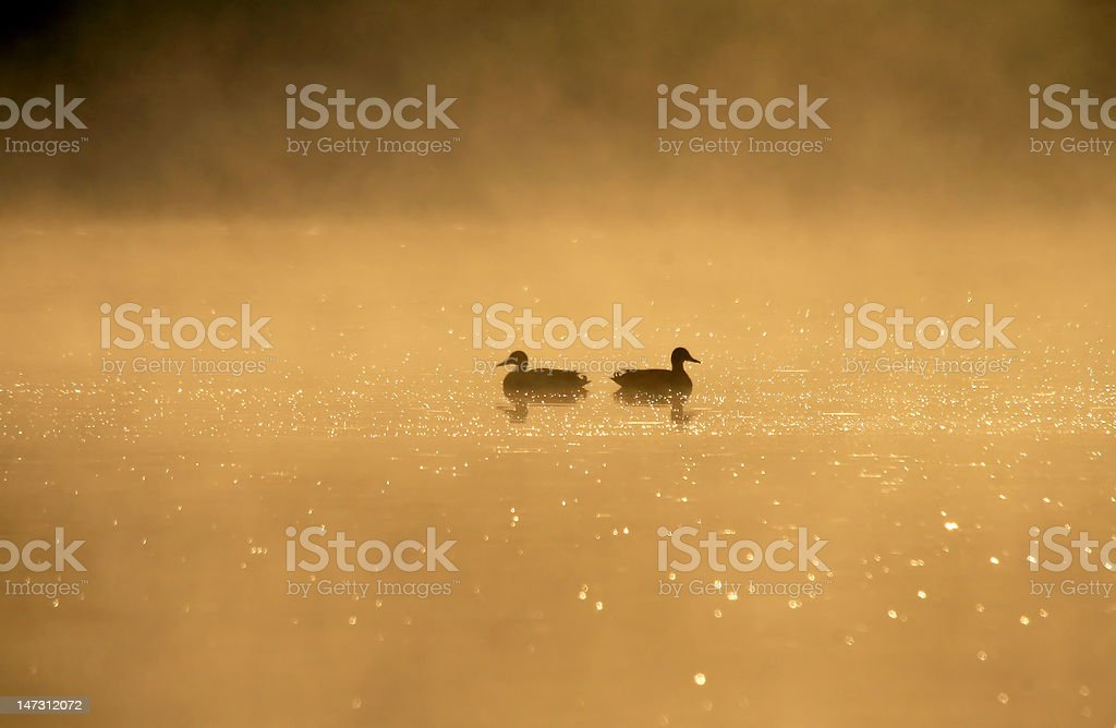 birds couple on a lake at dawn royalty-free stock photo