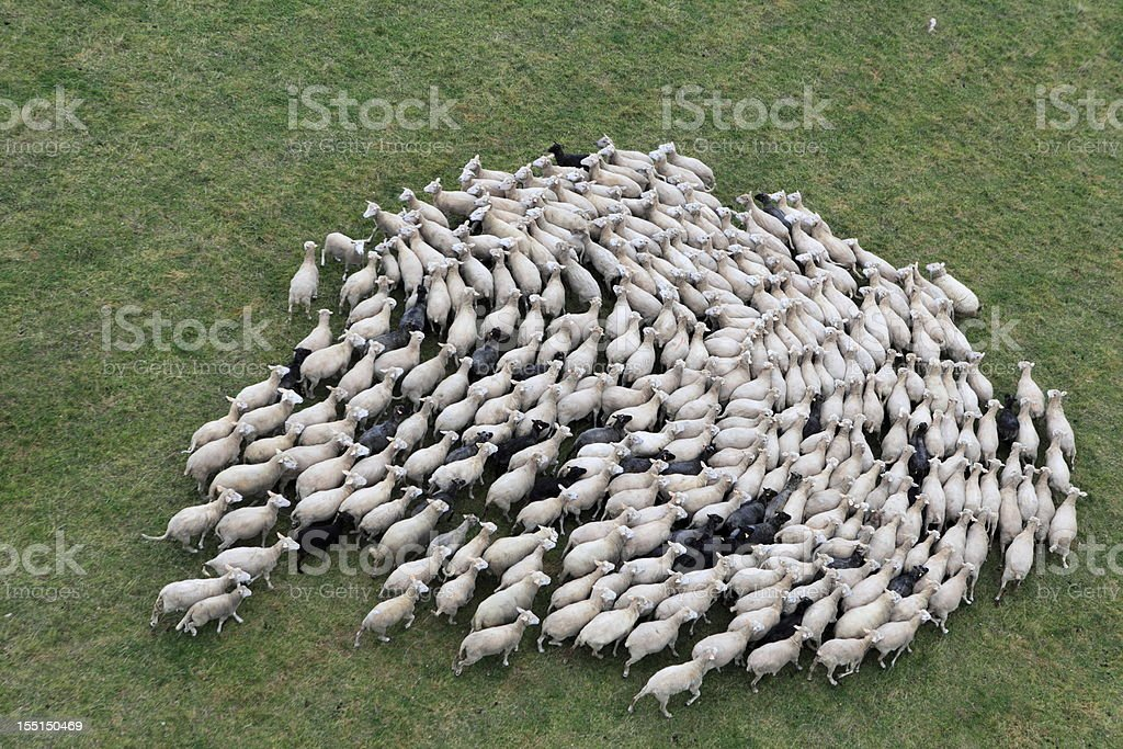 Birds eye view of a herd of sheep stock photo
