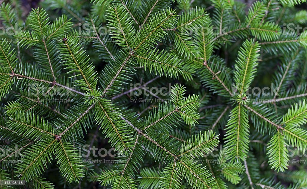 Bird's eye view of green pine needles on forked branches stock photo