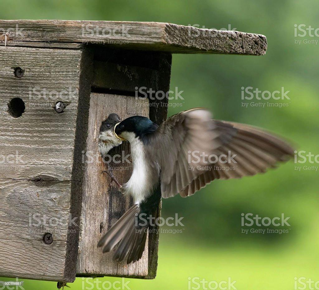 Birds - Feeding Time royalty-free stock photo