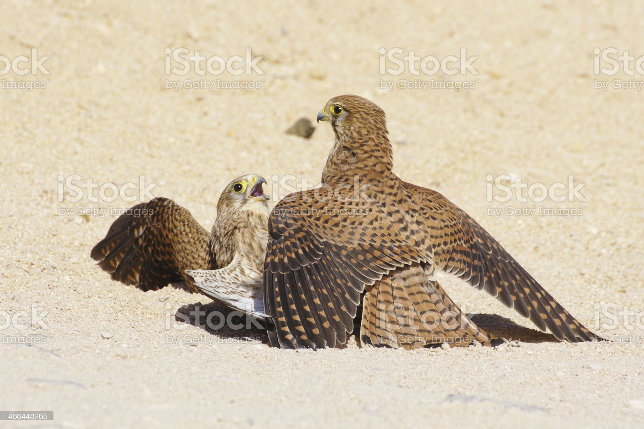 Bird's fight royalty-free stock photo