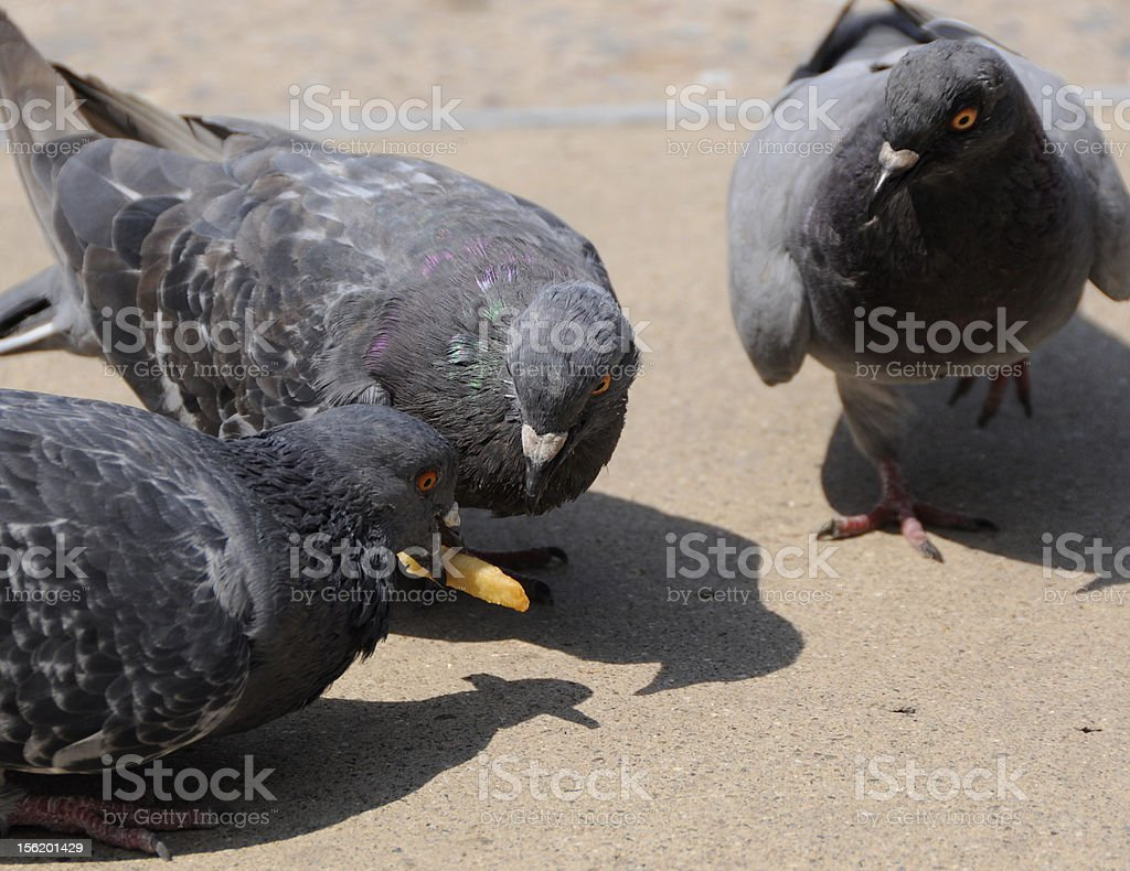 Birds fighting over food: a symbol of competition royalty-free stock photo