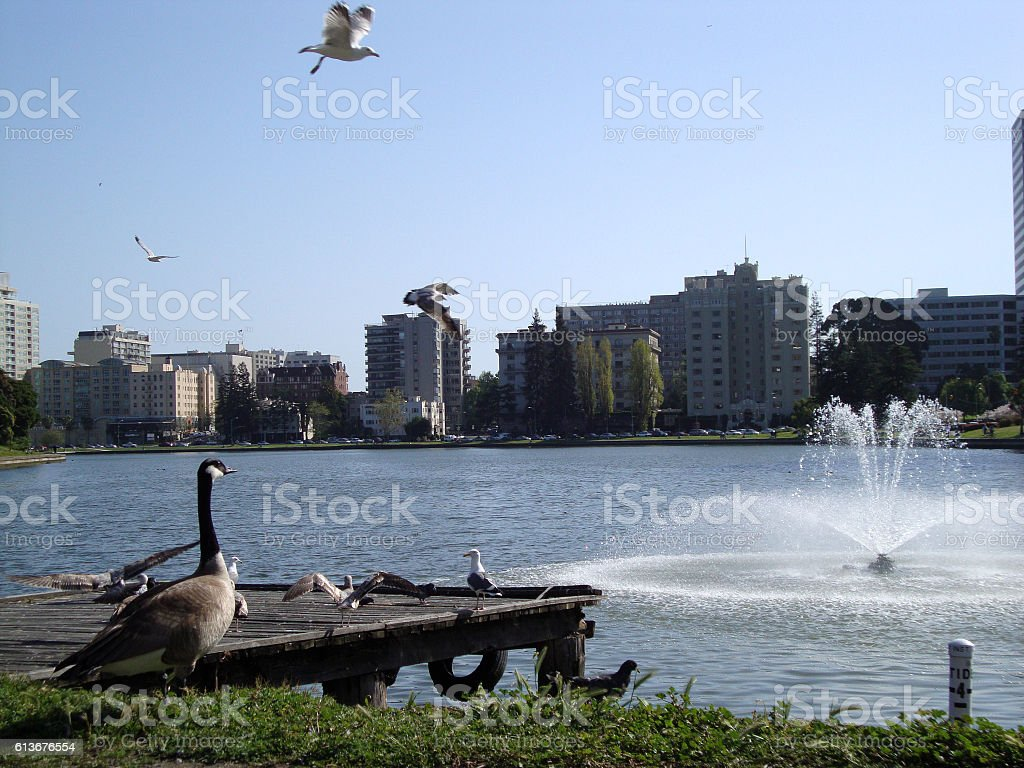Birds flying and hanging out at Lake Merritt stock photo