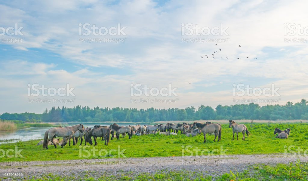 Birds flying over feral horses along the shore of a lake stock photo