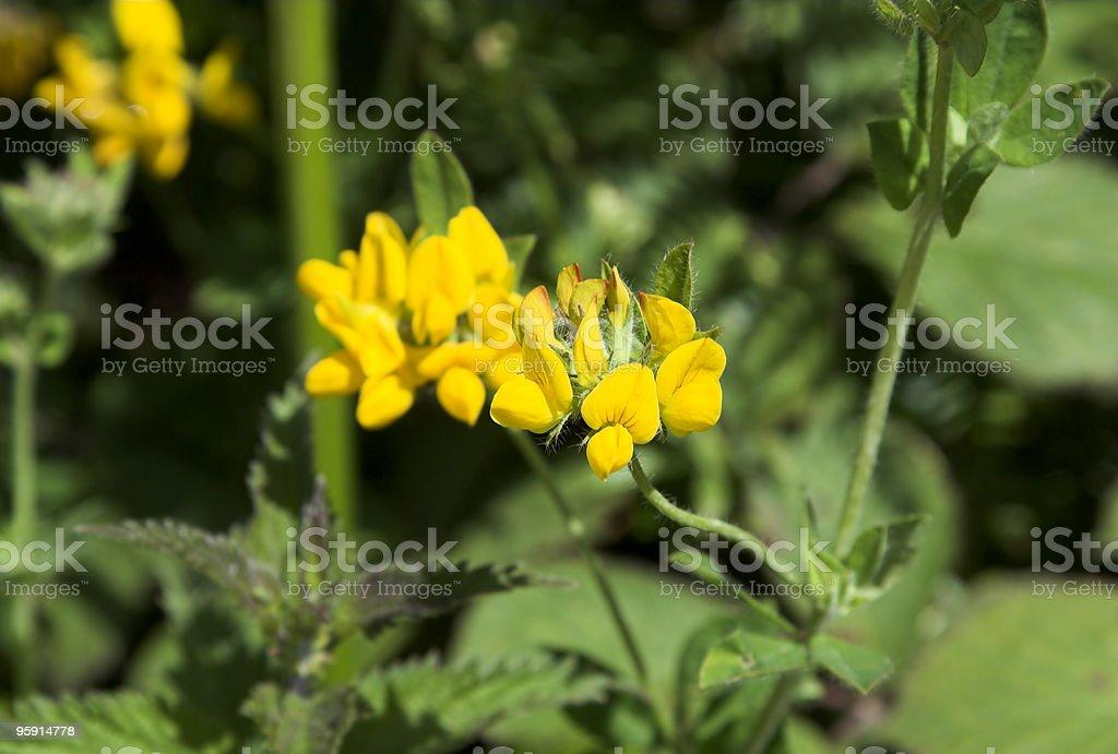 Bird's Foot Trefoil Flowers stock photo
