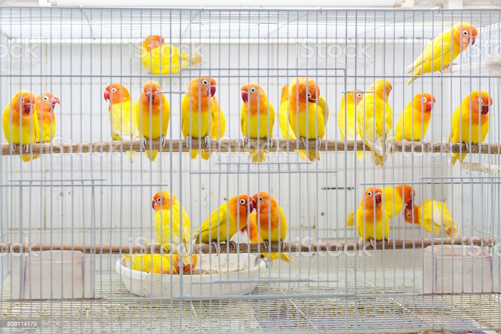 Birds for sale at Souq Waqif, Doha stock photo