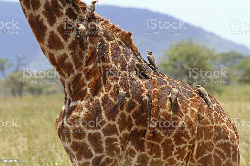 Birds Grooming Body of Giraffe stock photo