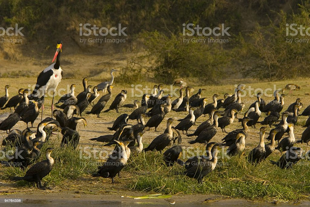 Birds in Africa stock photo