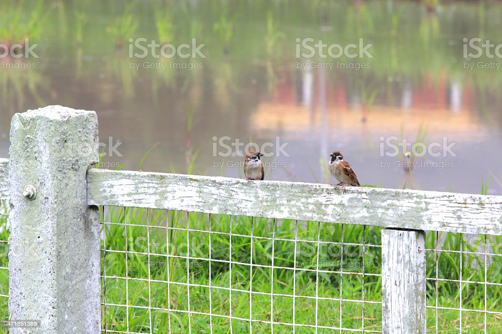 Birds in row on wooden fence royalty-free stock photo