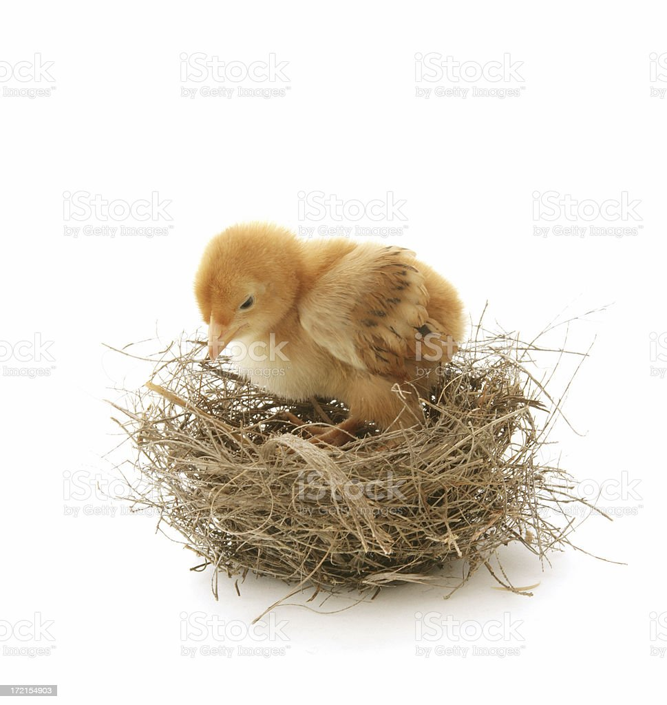 Birds in their Little Nests royalty-free stock photo