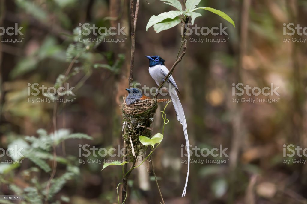 Birds incubating eggs alternately. Beautiful bird, Asian paradise flycatcher,white plumage,male coming in while female,rufous plumage sitting in brooding eggs  in their nest. stock photo