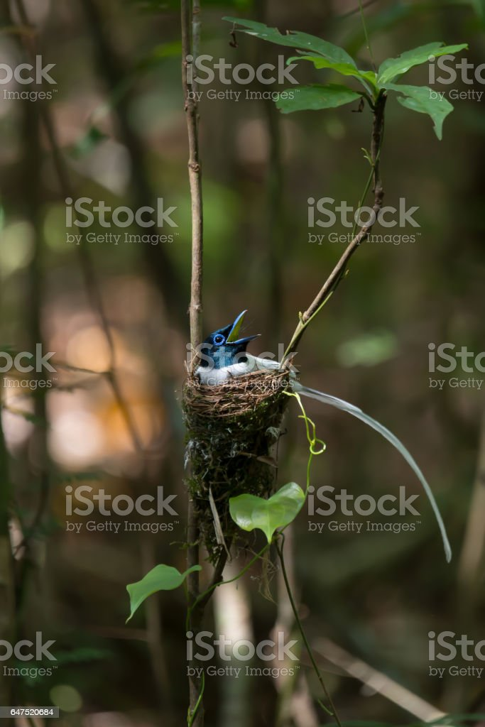 Birds incubating eggs. Beautiful bird, Asian paradise flycatcher,white plumage,male    opening mouth widely while brooding eggs  in their nest. stock photo