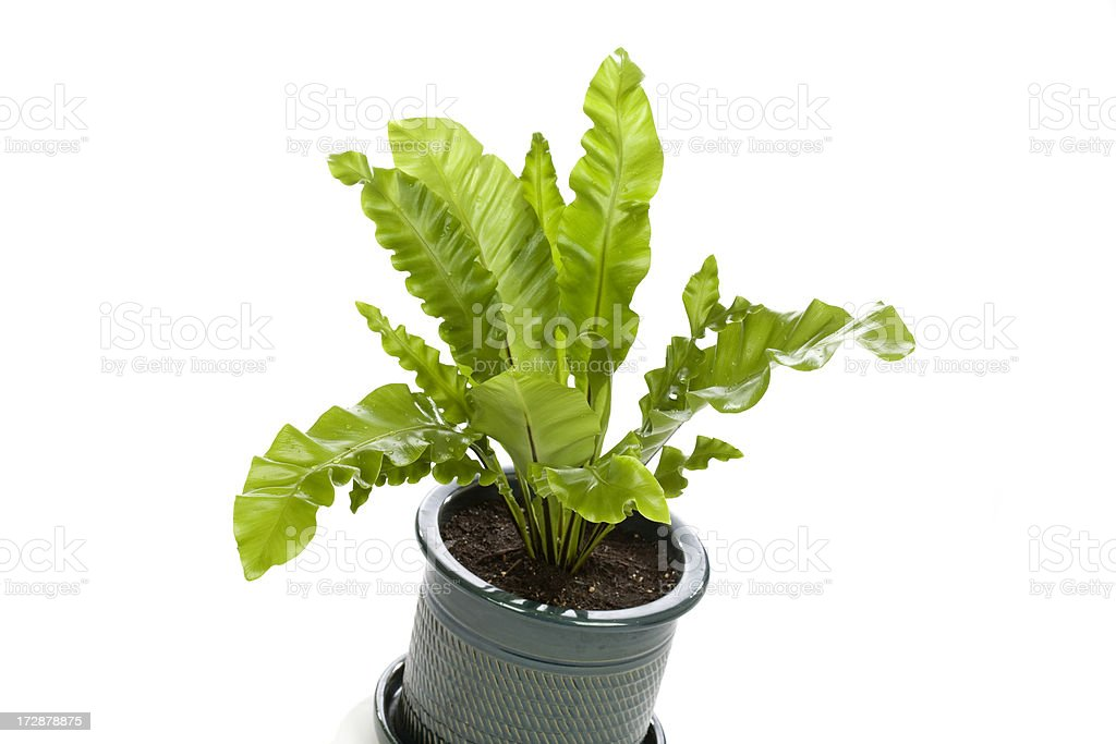 Bird's Nest Fern royalty-free stock photo