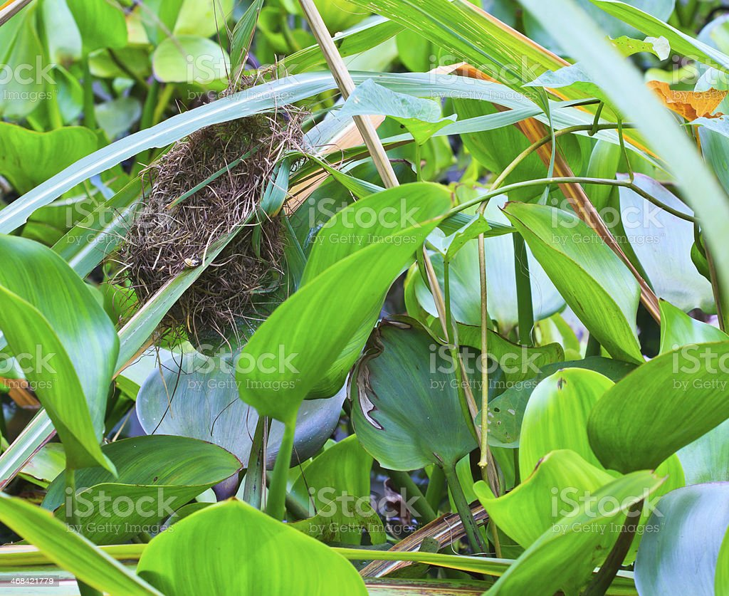 Bird's nest (Common Tailorbird) southeast asia and asian thailand royalty-free stock photo