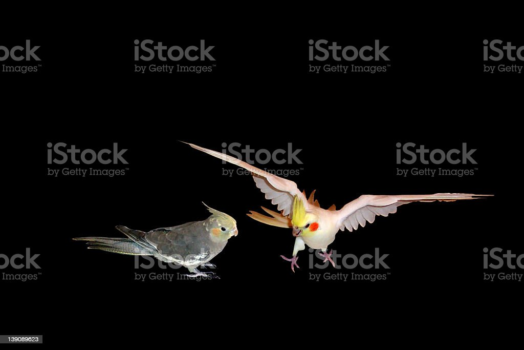 Birds not the best of friends royalty-free stock photo
