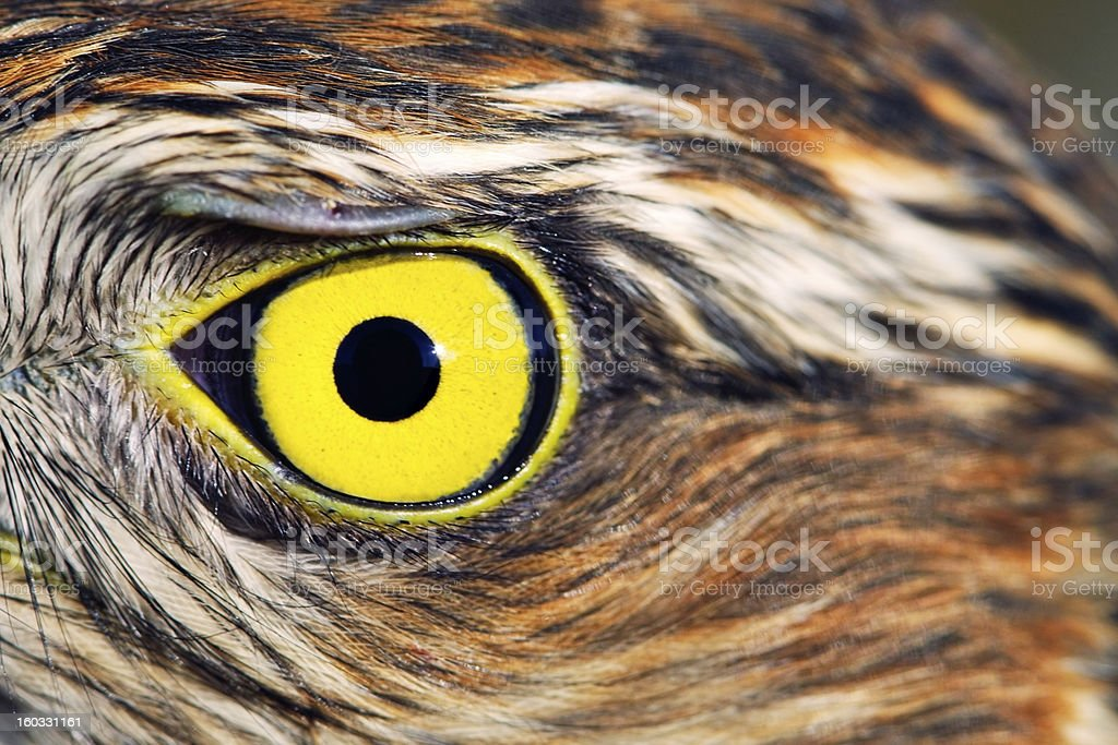 Birds of Europe and World - Sparrow-hawk royalty-free stock photo