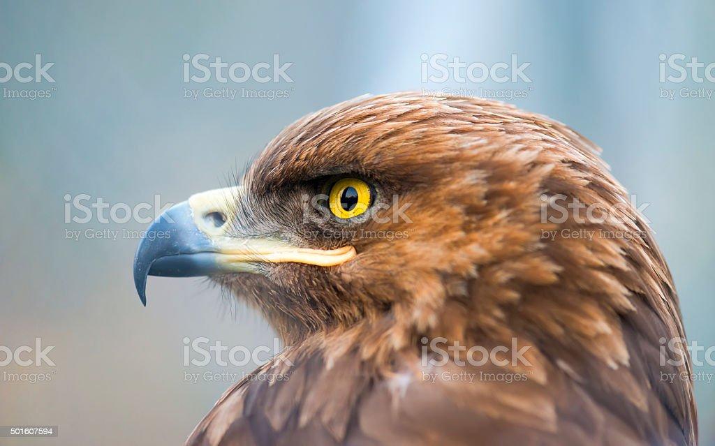 Birds of prey - Aquila pomarina - Lesser Spotted Eagle stock photo