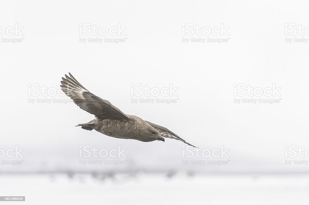 Birds of SouthPole royalty-free stock photo