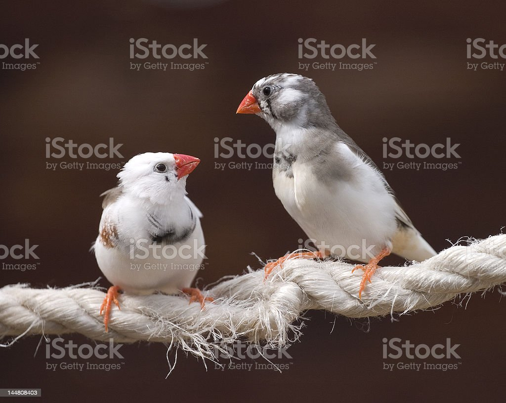 Birds on a Rope stock photo