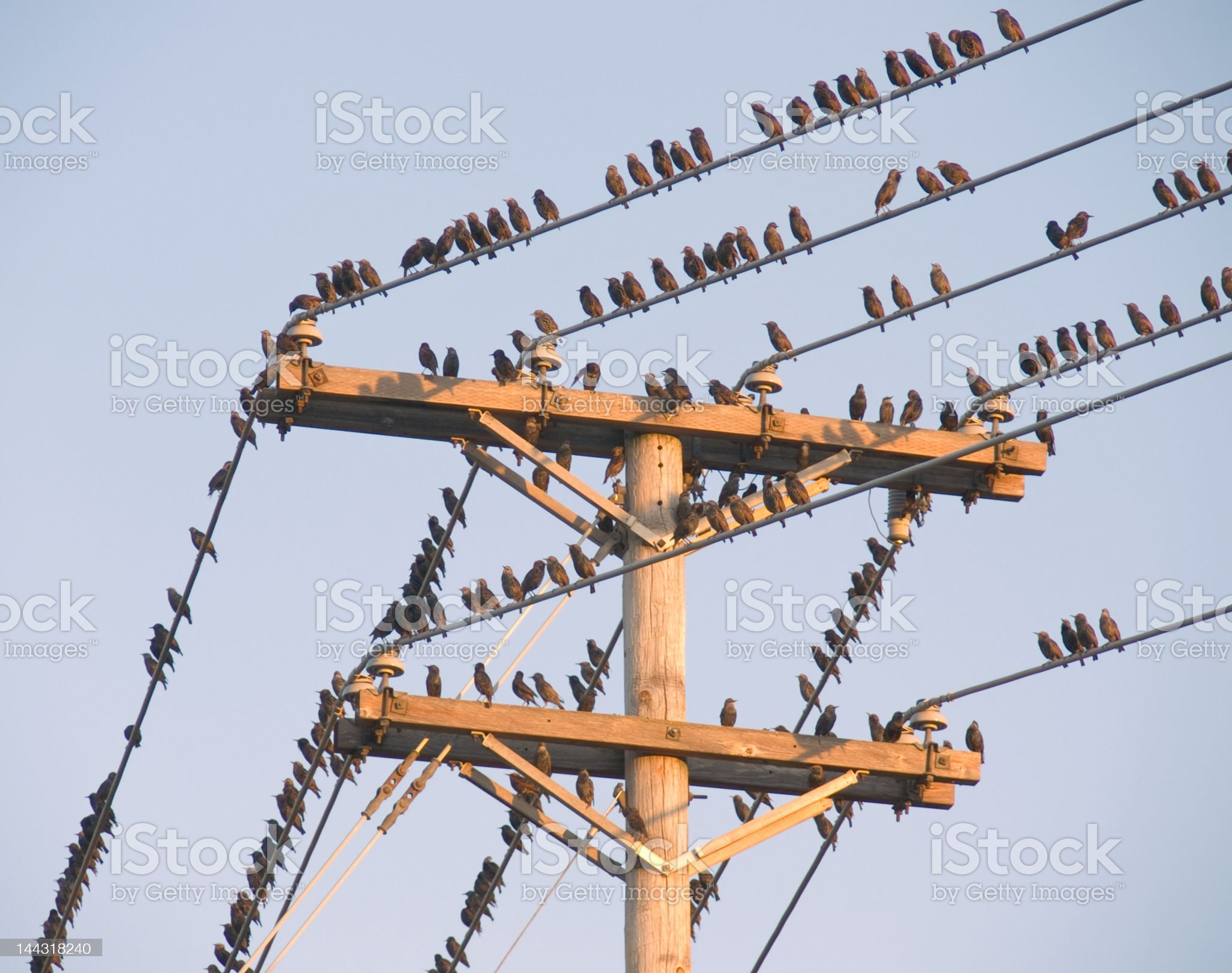 Birds on a Wire royalty-free stock photo