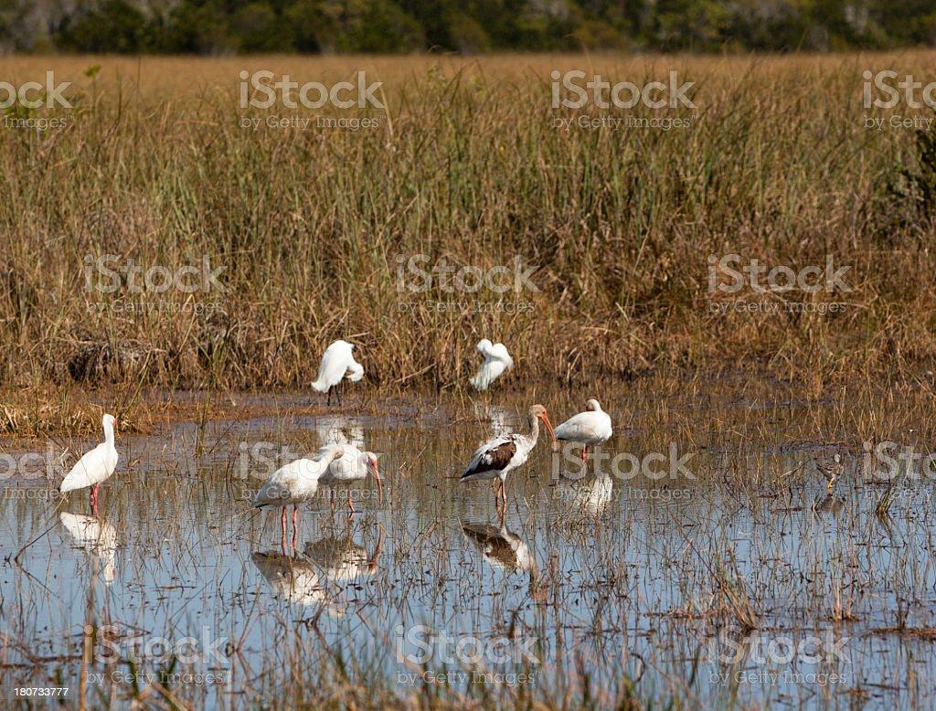 Birds on Everglades royalty-free stock photo