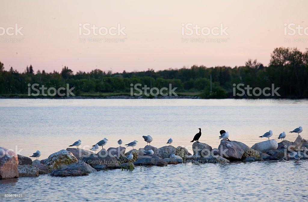 Birds on Lake Winnipeg stock photo