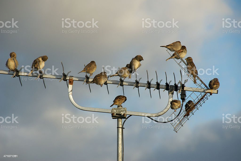 Birds  on TV Aerial royalty-free stock photo