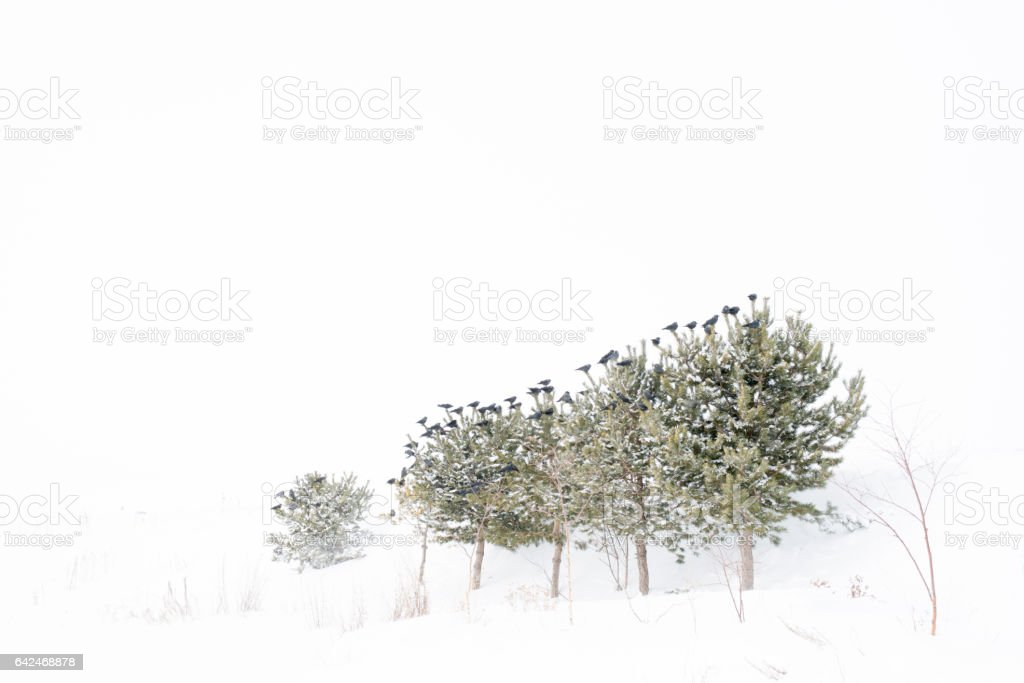 Birds put on pine trees in winter stock photo