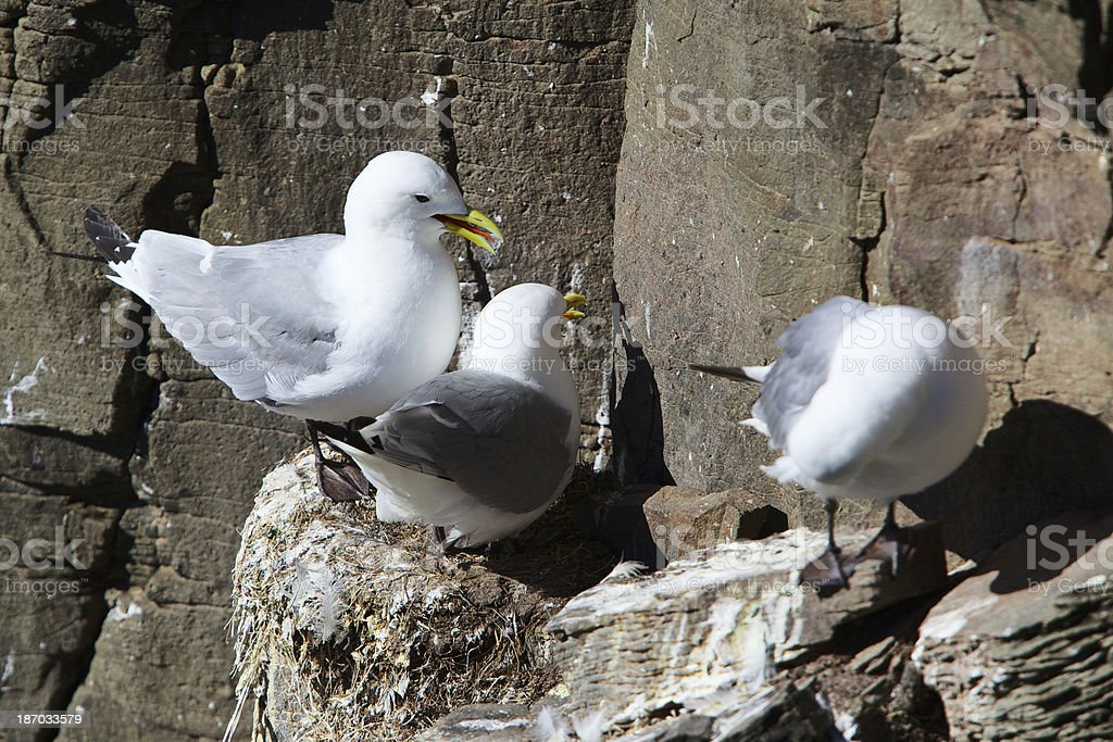 Birds resting on Labrabjarg cliffs. The Westfjords. Iceland. royalty-free stock photo