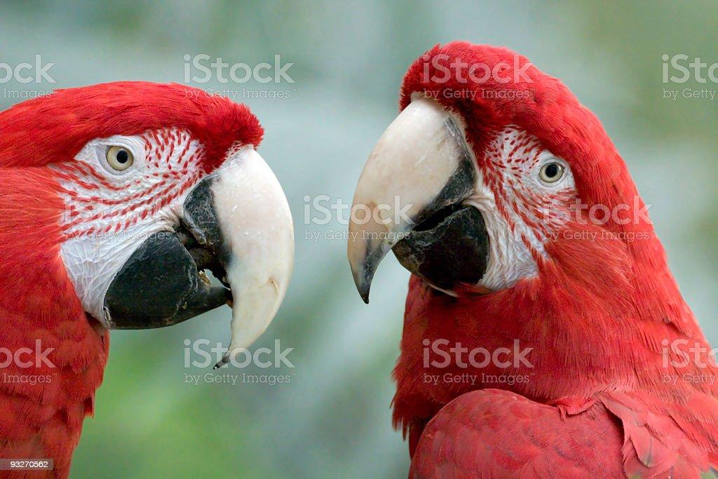 Birds - Scarlet Macaws royalty-free stock photo