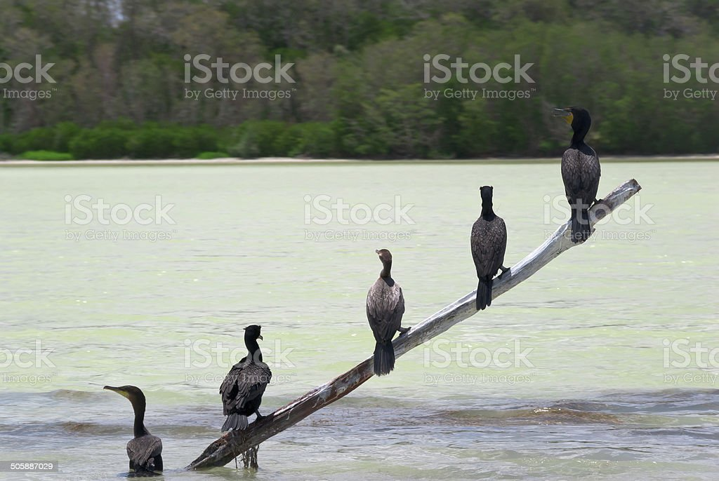 Five water birds are sitting on a diagonal wood pole sticking out of...