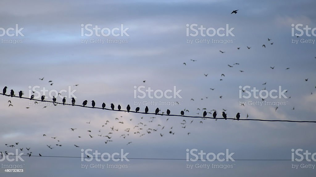 Birds (European starling) sitting on wire cable royalty-free stock photo