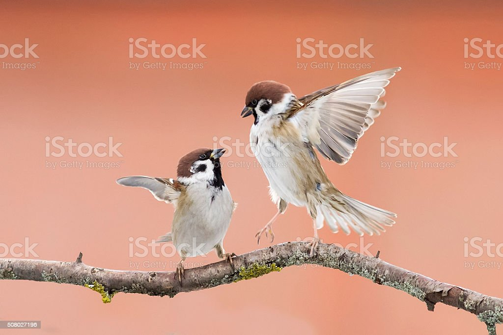 birds sparrows on a branch in spring stock photo
