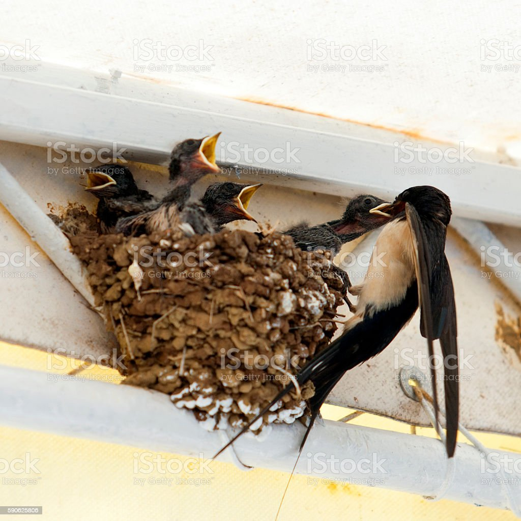 Birds, Swallow mom feeding young baby birds in urban area stock photo