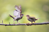 birds waving feathers and argue on a branch