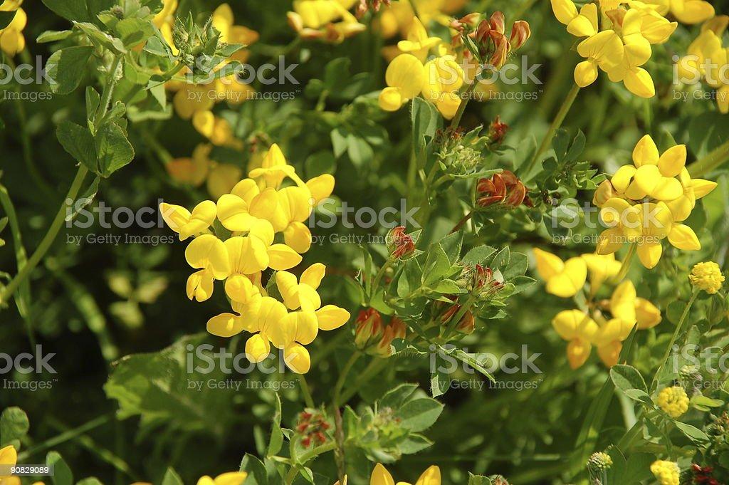 Birdsfoot trefoil, Lotus corniculatus - Leguminosae royalty-free stock photo