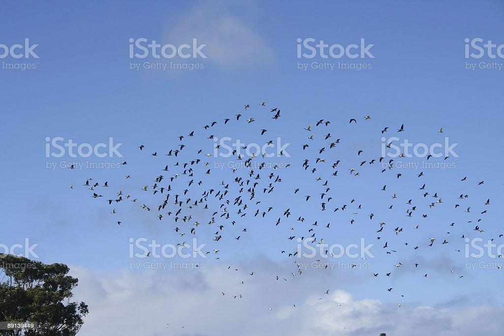 Birdswarm royalty-free stock photo