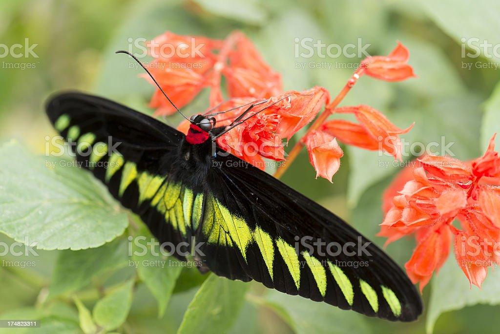 Birdwing Butterfly royalty-free stock photo