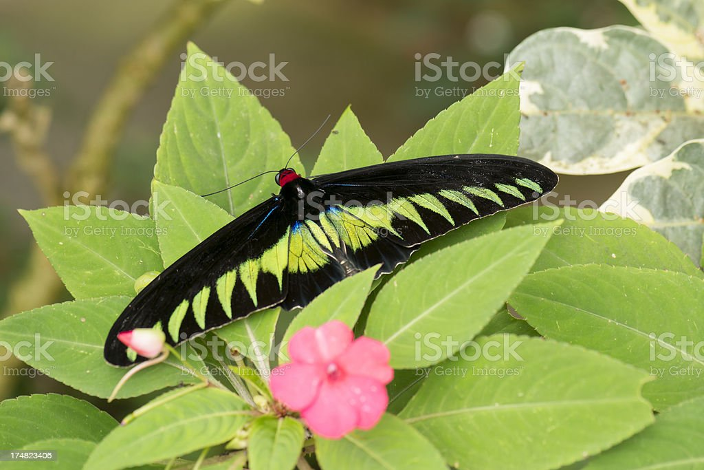 Birdwing Butterfly royalty-free stock photo