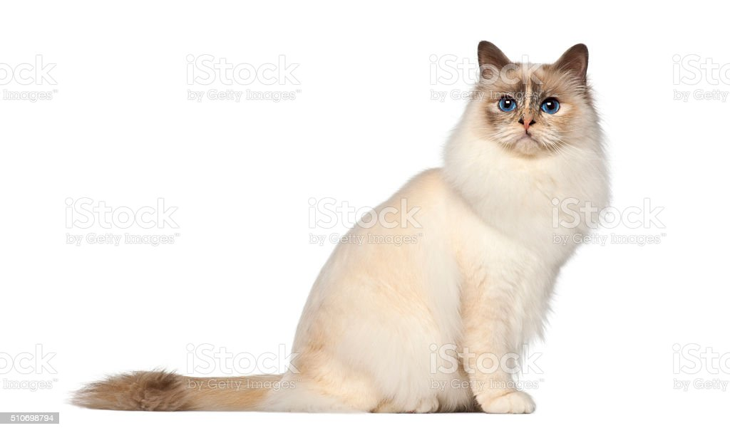 Birman, 9 months old, sitting against white background stock photo