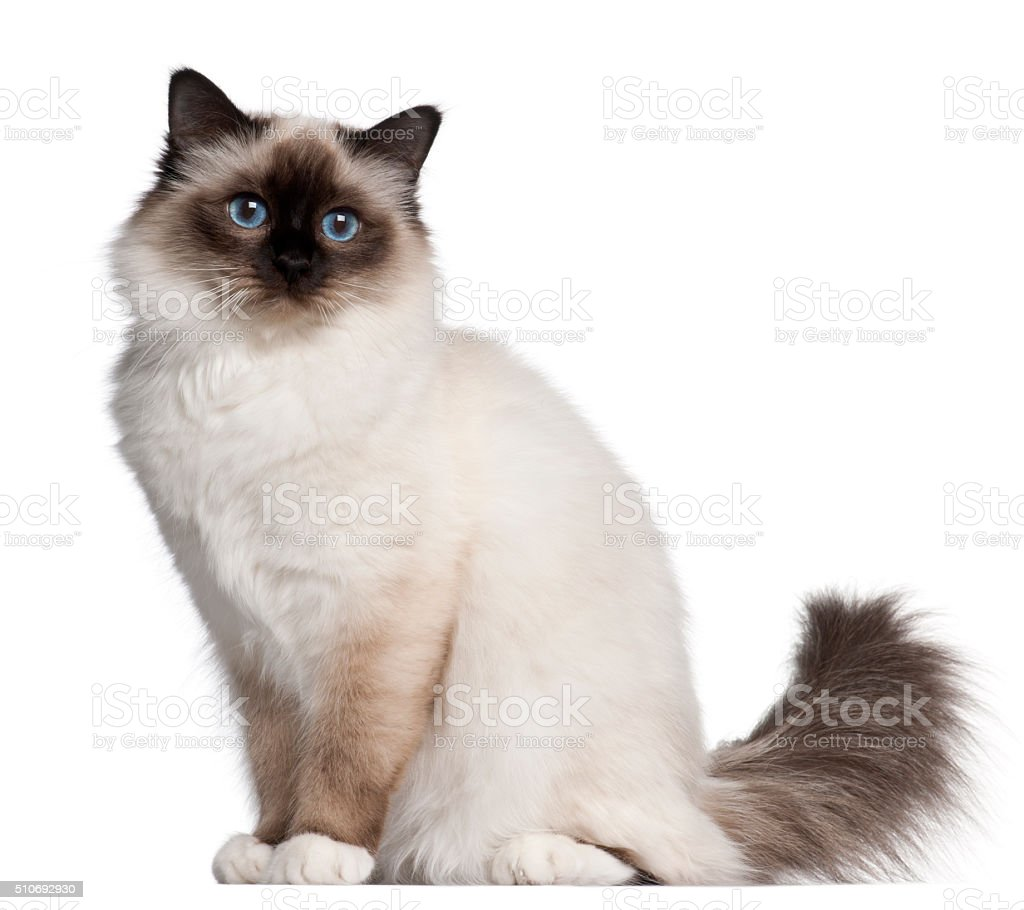 Birman cat, 11 months old, sitting stock photo