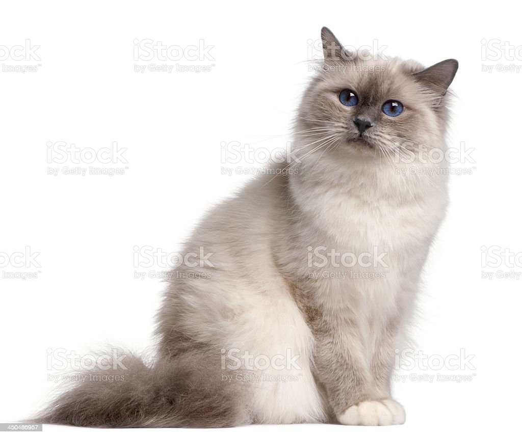 Birman cat, 9 months old stock photo
