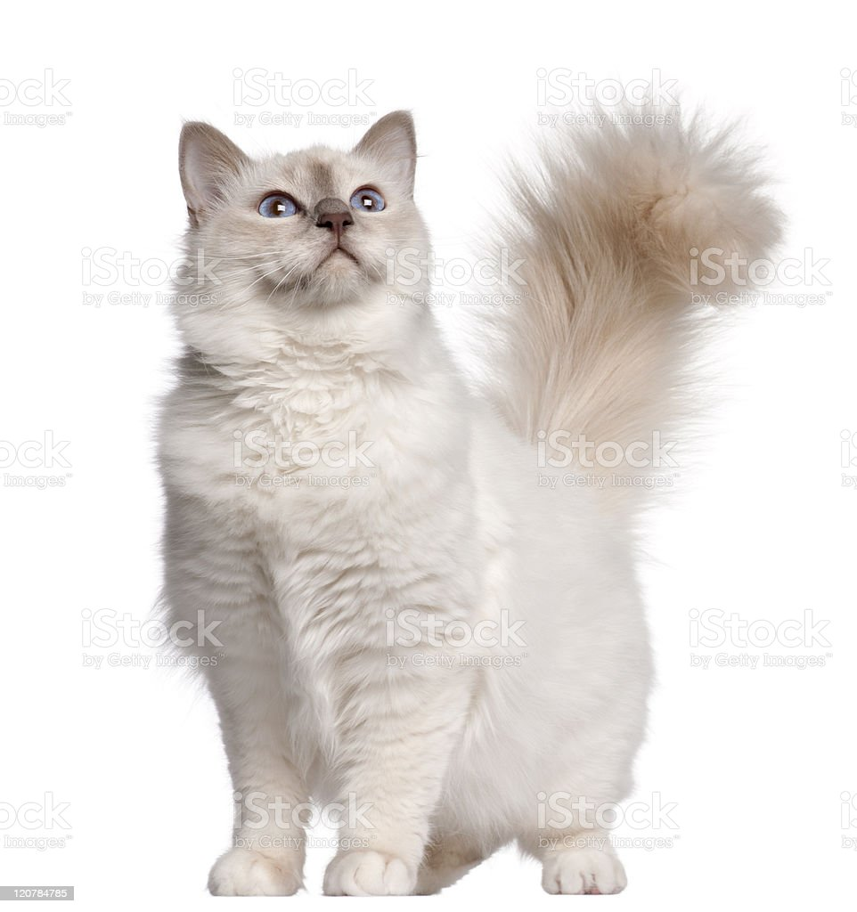 Birman cat, eleven months old, standing, white background. stock photo