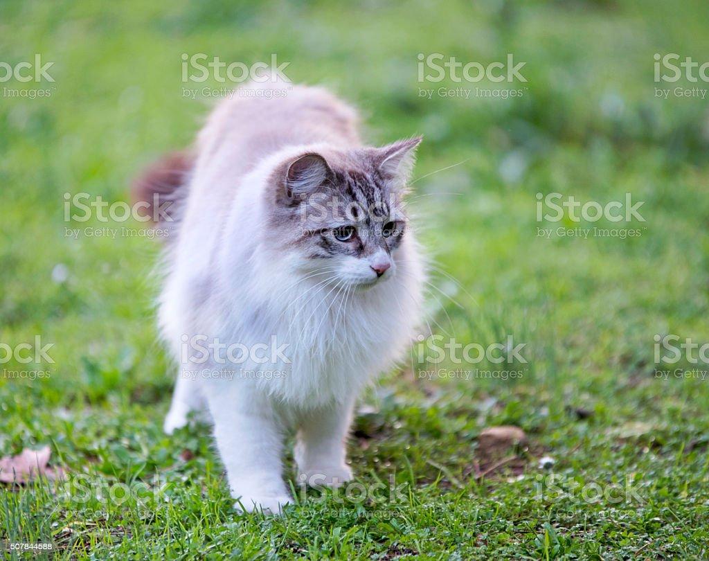 birman cat in nature stock photo