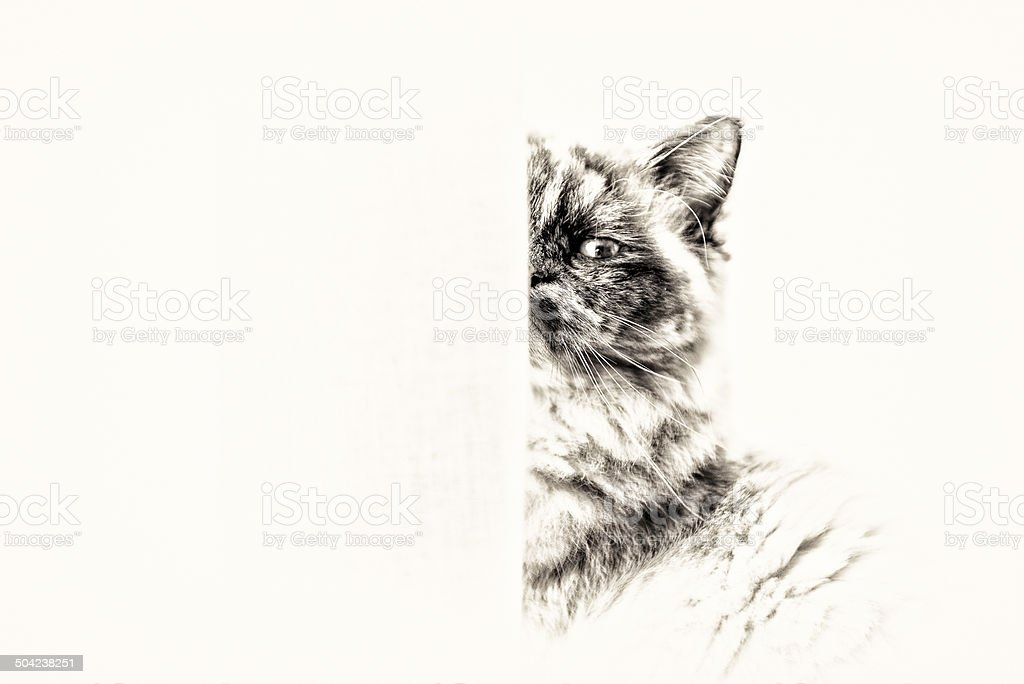 Birman cat looking at camera masked partially by curtains. stock photo