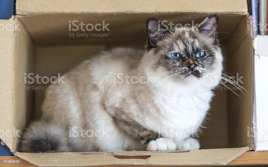 Birman cat perched inside a box stock photo